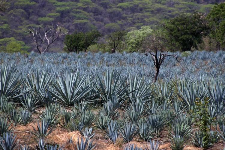 Crean registro de agave para evitar deforestación | NTR Guadalajara